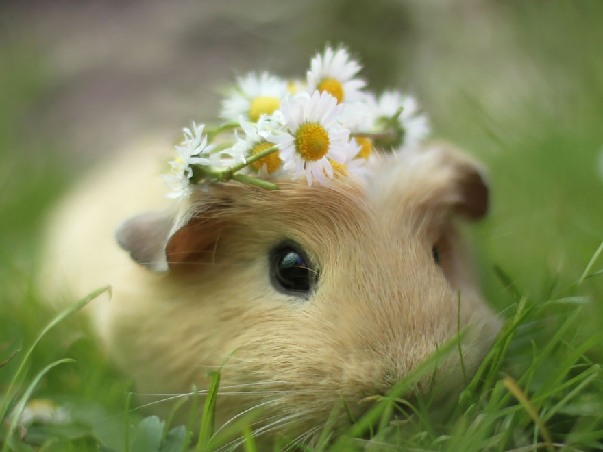 guinea-pig-booboo-lieveheersbeestje-60