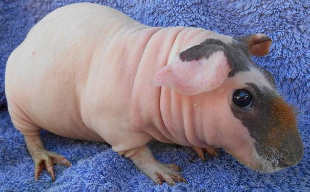 hairless-bald-animals-20