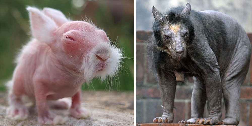 These 15 Animals Without Hair Are Barely Recognizable ... Raccoon With No Hair