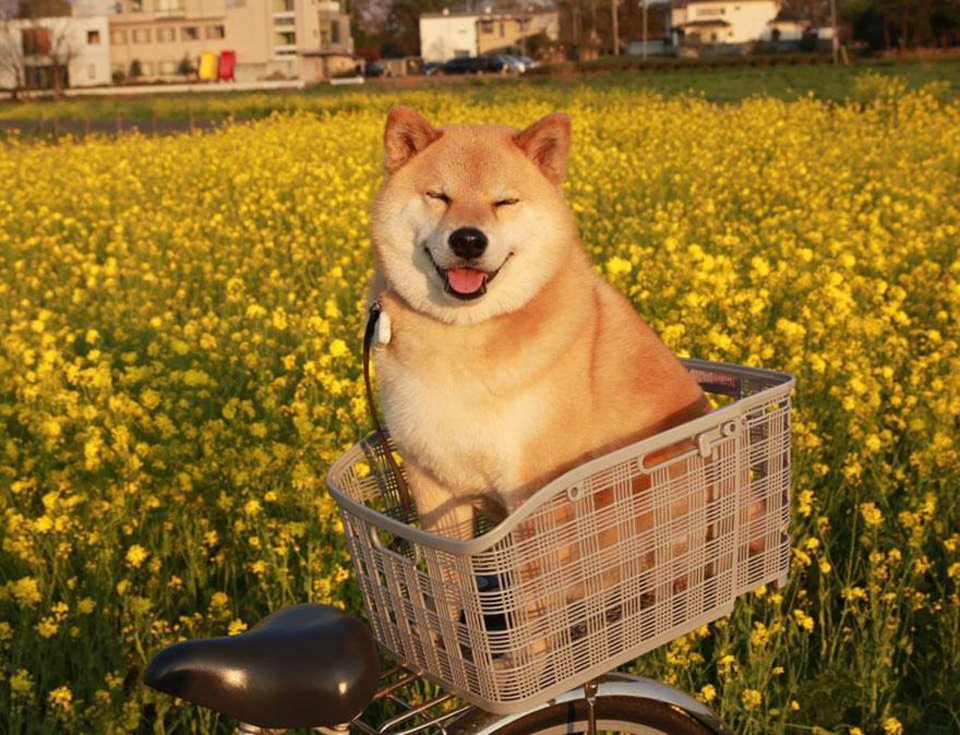 happy-dog-maru-shiba-inu-35