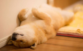 Meet Maru, The Smiliest Dog In Japan