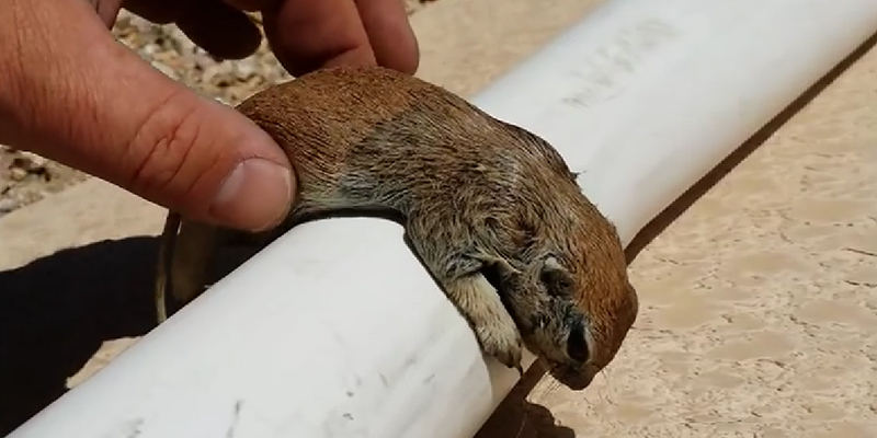 Pool Guy Saves Drowning Squirrel's Life With CPR