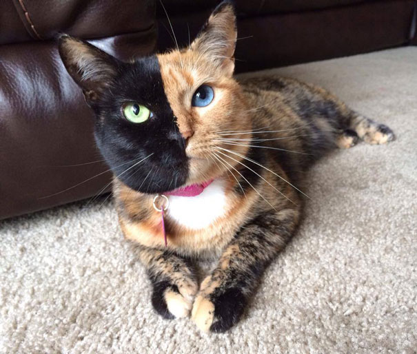 two-faced-chimera-cat-venus-29