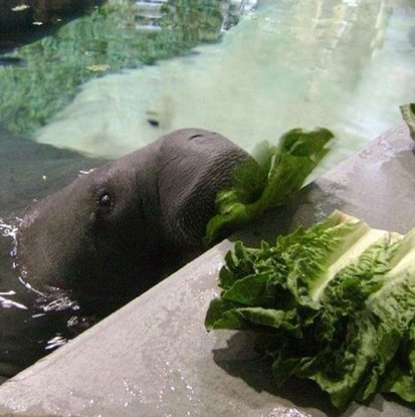 66-year-old-manatee-snooty-8
