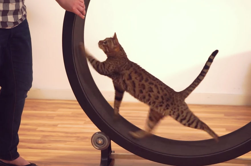 cat-wheel-treadmill-one-fast-cat-5