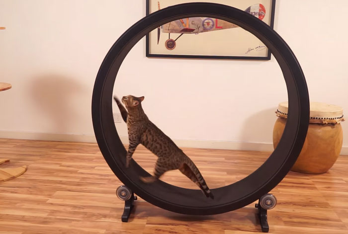 One Fast Cat: A Hamster Exercise Wheel For Cats
