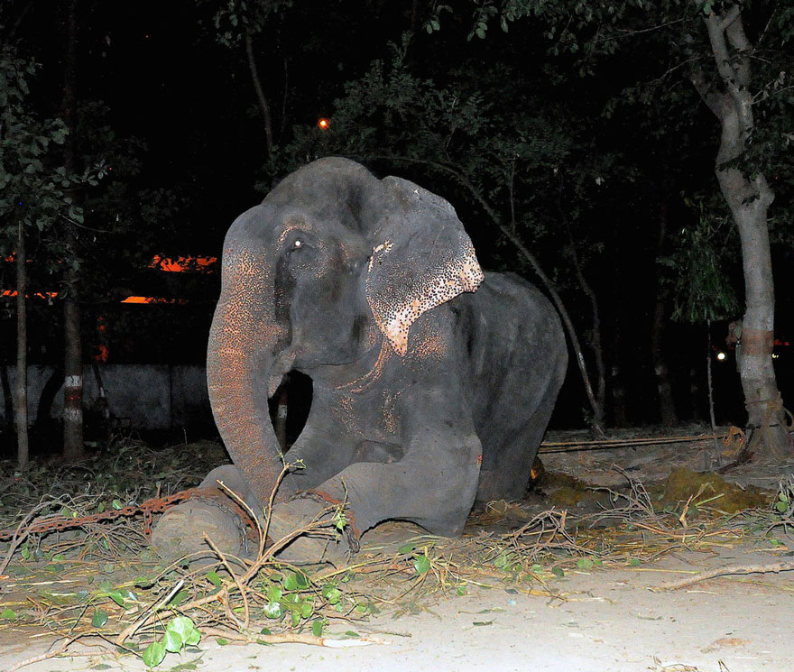 crying-elephant-raju-rescued-chained-50-years-4