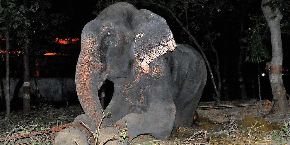 Elephant Raju Cries After Being Rescued From 50 Years Of Suffering In Chains