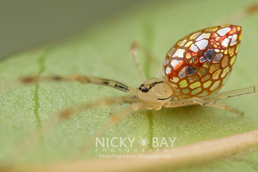 mirror-spider-thwaitesia-argentiopunctat