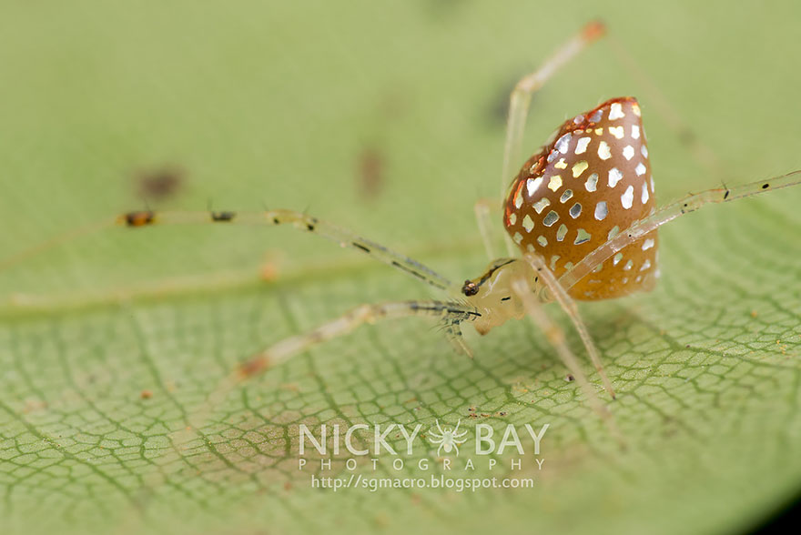 mirror-spider-thwaitesia-argentiopunctata-4