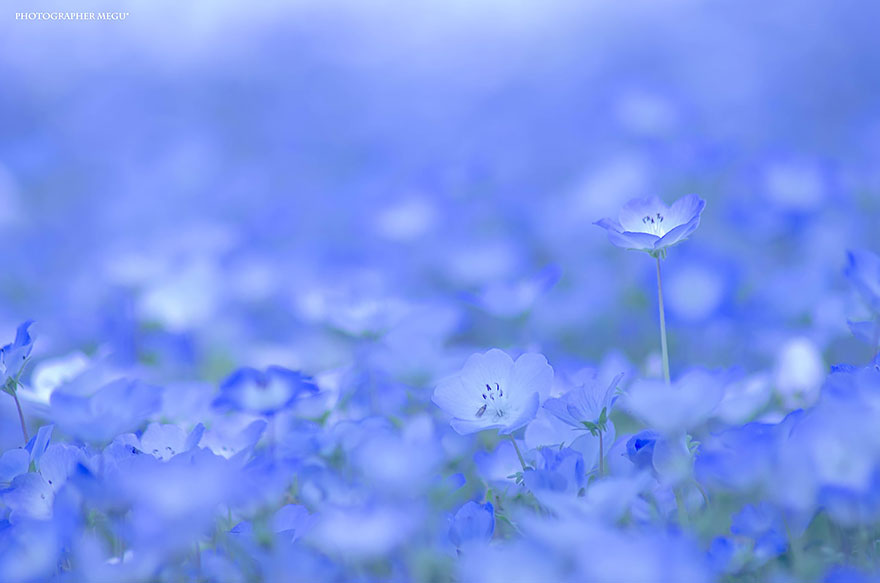 4 5 million baby blue eyes in hitachi seaside park in japan bored