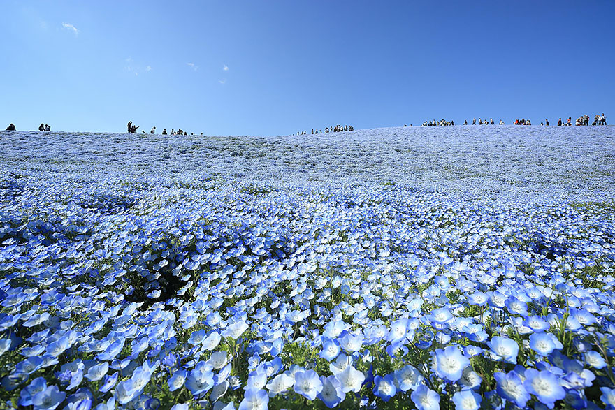 4 5 million baby blue eyes in hitachi seaside park in japan bored panda. Black Bedroom Furniture Sets. Home Design Ideas