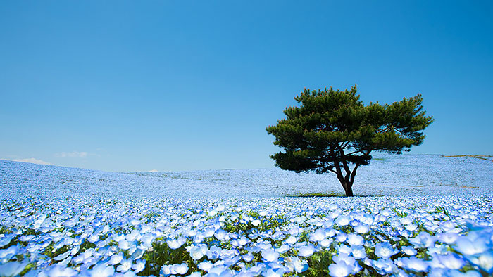 4.5 Million Baby Blue Eyes In Hitachi Seaside Park In Japan