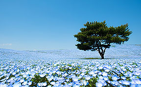4.5 Million Baby Blue Eyes In Hitachi Seaside Park In Japan