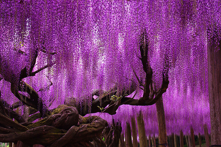 This YearOld Wisteria In Japan Looks Like A Pink Sky Bored - Beautiful wisteria plant japan 144 years old