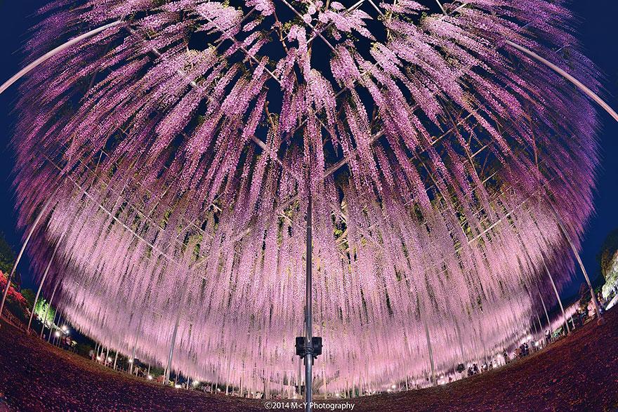 Ova 144-godišnja wisteria u Japanu izgleda kao ružičasto nebo