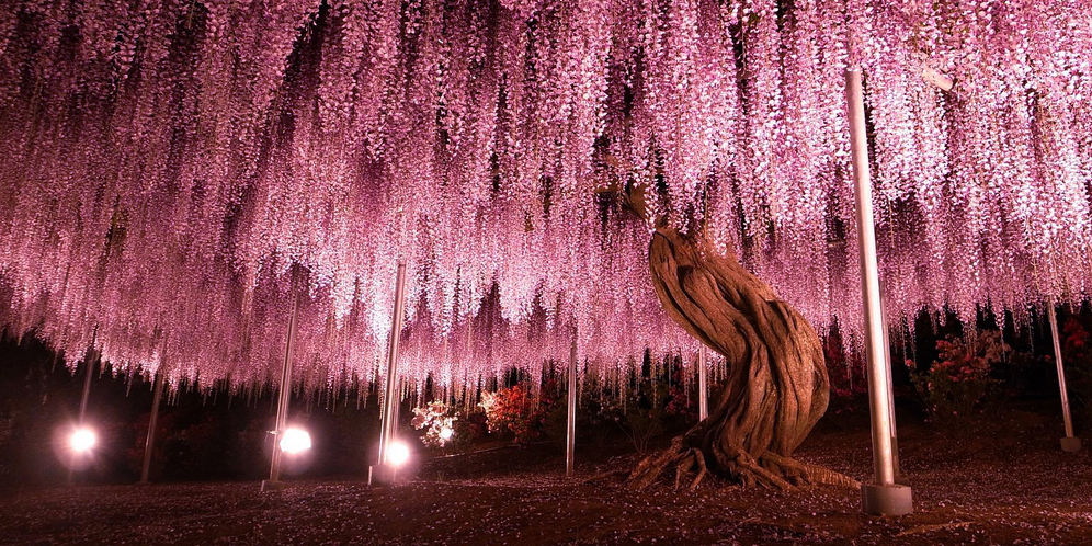 This 144 Year Old Wisteria In Japan Looks Like A Pink Sky Bored Panda