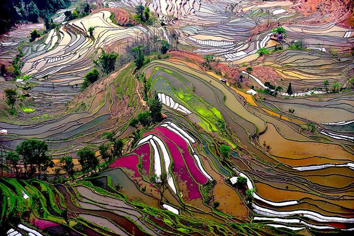 47 Hypnotizing Rice Fields That Look Like Broken Glass