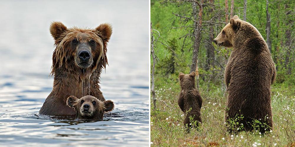Big Bears Teaching Their Teddies How To Bear