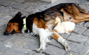 Adorable Duck And Dog Duo Spotted Napping Together In Paris