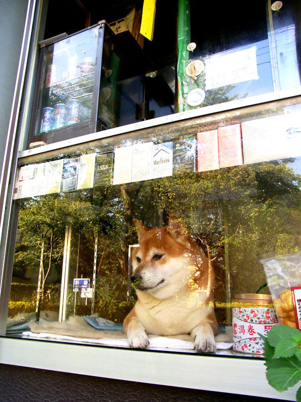dog-opens-counter-window-shiba-inu-doge-6
