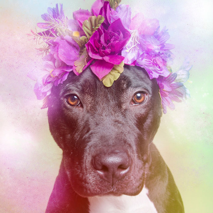 flower-power-pit-bulls-dog-adoption-photography-sophie-gamand-1