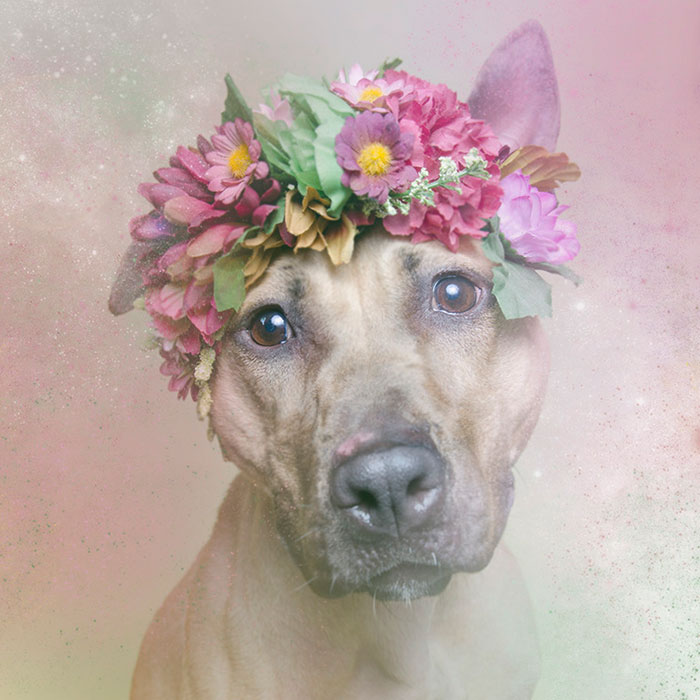 flower-power-pit-bulls-dog-adoption-photography-sophie-gamand-4