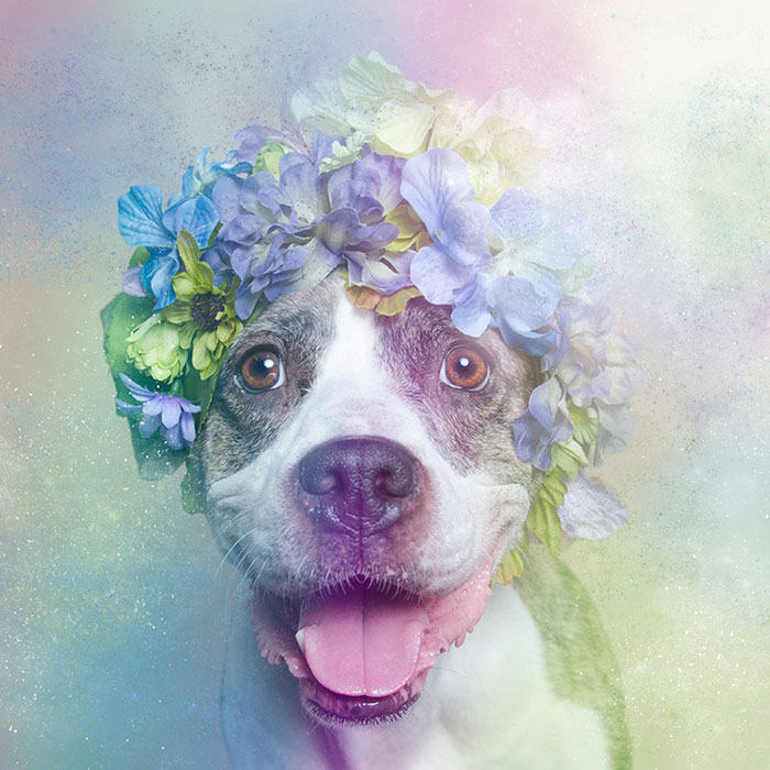flower-power-pit-bulls-dog-adoption-photography-sophie-gamand-6