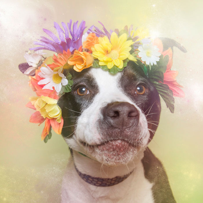 flower-power-pit-bulls-dog-adoption-photography-sophie-gamand-7