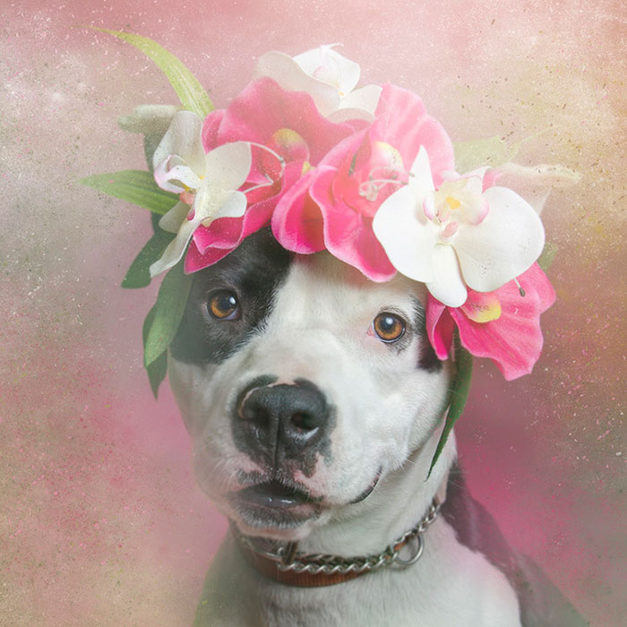 flower-power-pit-bulls-dog-adoption-photography-sophie-gamand-8