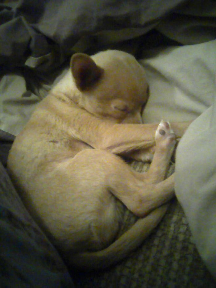 Deitrick- Chia Pom Pup