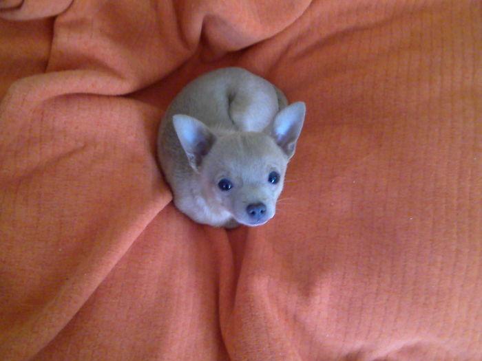 Puppy Looks Like A Cashew