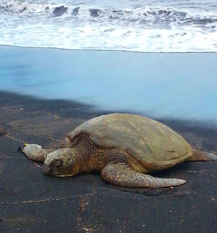 Green Sea Turtle At Black Sand Beach, Hawaii