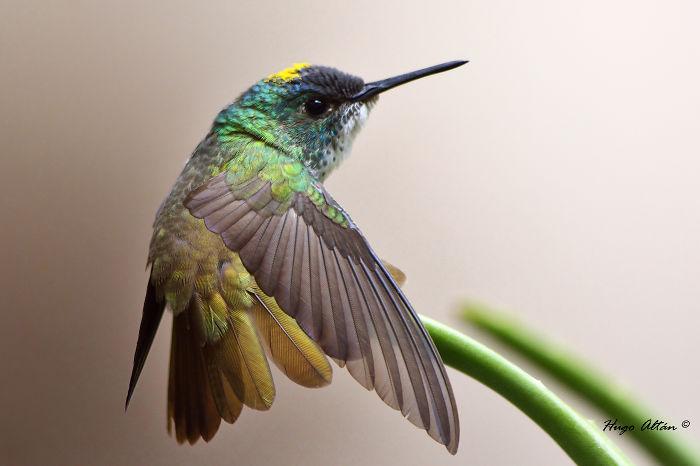 Azure Crowned Hummingbird. Guatemala, Central America. Hugo Altán