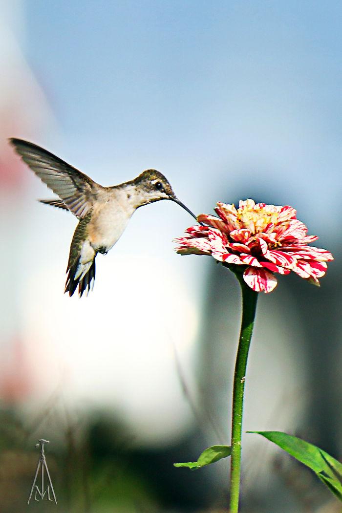 Anna's Hummingbird Having Breakfast