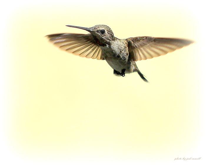 Annas Hummingbird In Flight