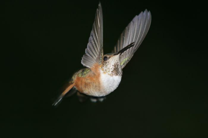 Rufous Hummingbird ,andrzej ,north Vancouver Bc