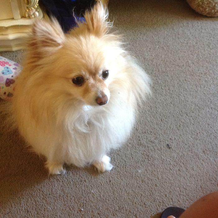 Happy: Pomeranian X Chihuahua