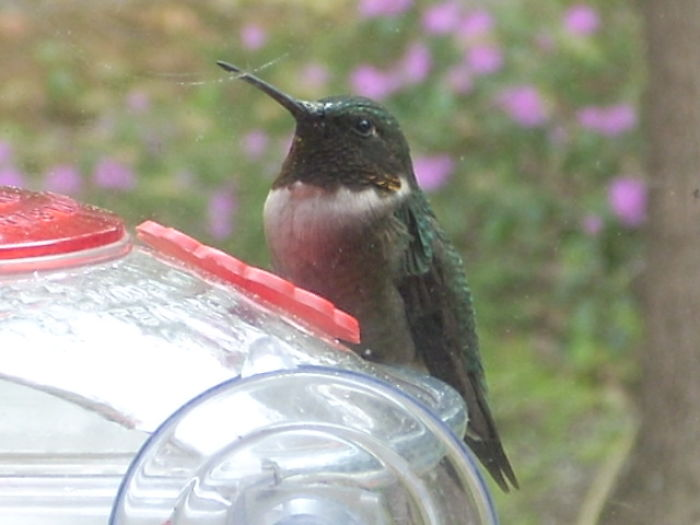 """Male Ruby-throated Hummingbird (""""ruby-less"""" In Shade)"""
