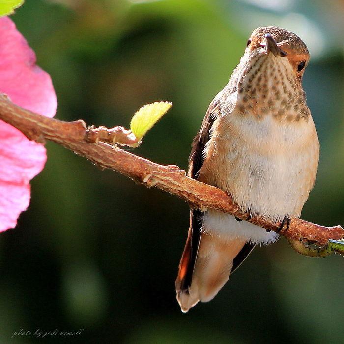 You Wanna Piece Of Me??? Allen's Hummingbird