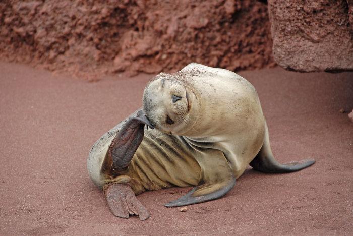 Rabida Galapagos Sealion