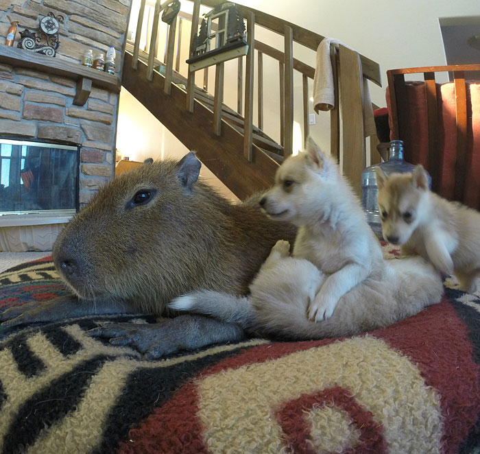 Capybara Plays With Husky Puppies