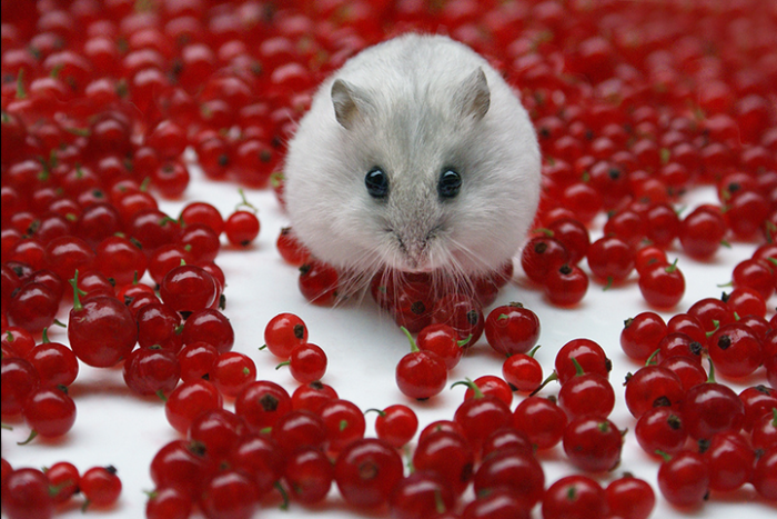 Cute Hamster With Cherries