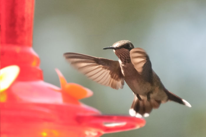 Female Ruby-throated Hummer, Approaching My Feeder. Taken With Nikon D3000 At F5.6 1/2000.