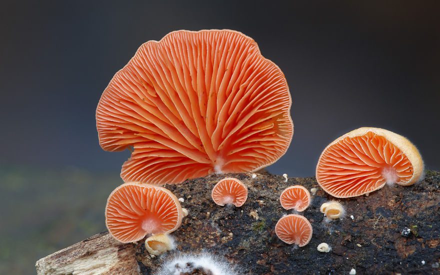 Crepidotus Beautiful Mushrooms
