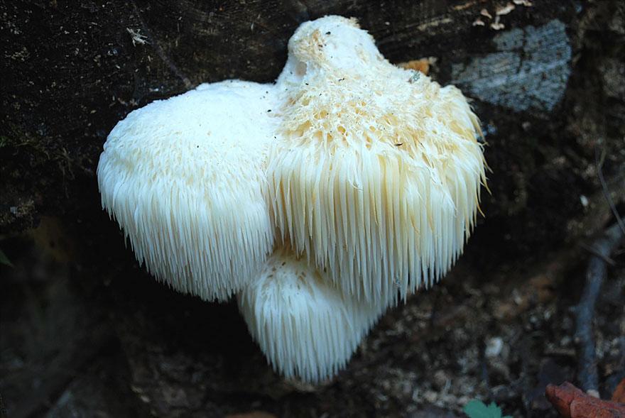Toothed Mushroom
