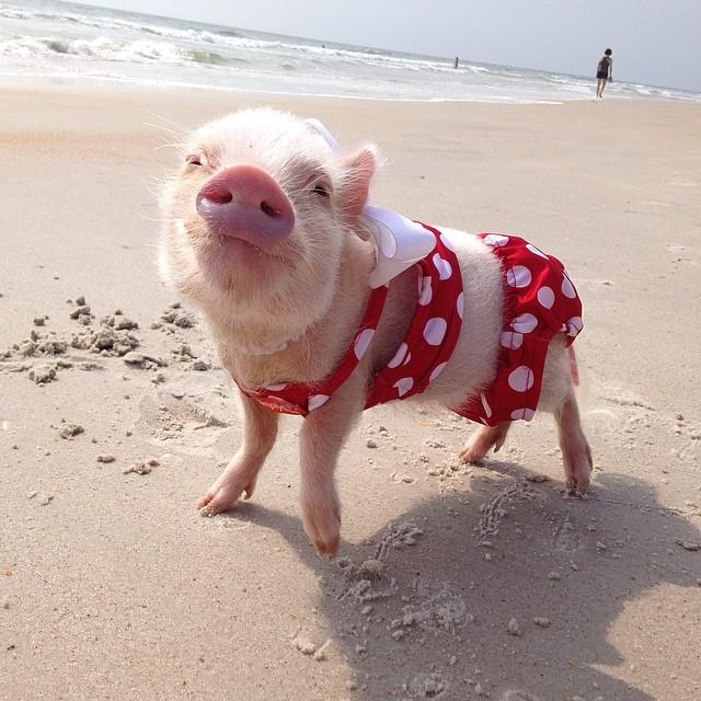 Meet Priscilla: The Prettiest Mini Pig On Instagram ...