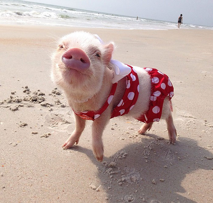 Meet Priscilla: The Prettiest Mini Pig On Instagram