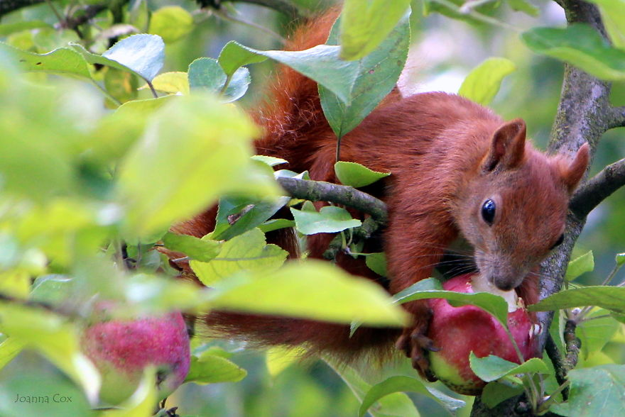 Who Is Eating Apples In My Orchard?