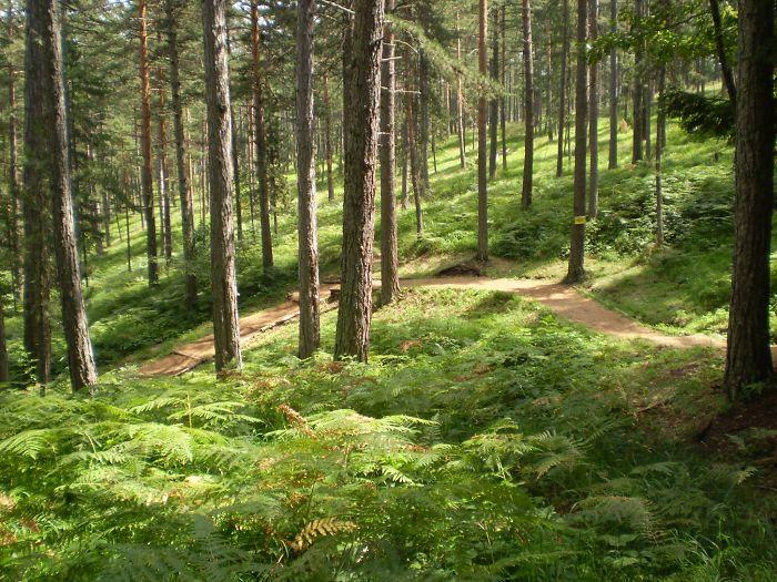 Forest On Tara Mountain, Serbia
